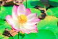 Beautiful lotus blossoms or water lily flowers this is nature background Royalty Free Stock Image