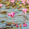 Beautiful lotus flower Stock Image