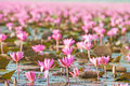 Beautiful lotus flower Stock Photos