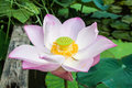Beautiful lotus flower nelumbo sp in a pond stock photo Stock Photography