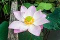 Beautiful lotus flower nelumbo sp in a pond stock photo Stock Photo