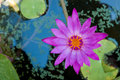 Beautiful lotus flower purple on the water at park Stock Photography