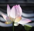 Beautiful lotus natural photo of pink Royalty Free Stock Photography