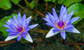The beautiful lotus on pond Stock Images