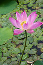 Beautiful lotus in pong Stock Photo