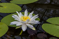 Beautiful Lotus in the pool Royalty Free Stock Photo