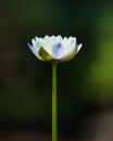 Beautiful lotus single lotus flower on green background Stock Photo