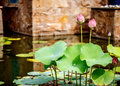 Beautiful lotus in tropical garden pink a pond Royalty Free Stock Photos