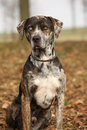 Beautiful louisiana catahoula dog sitting in autumn Royalty Free Stock Photos