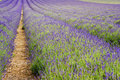 Beautiful low angle wide shot of lavender field Royalty Free Stock Photos