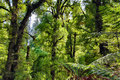 Beautiful lush australian forest with trees and ferns Stock Photography