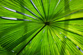 Beautiful lush green fan palm frond Stock Photos