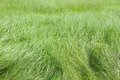 Beautiful lush green long grass Royalty Free Stock Photos