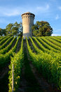 Beautiful lush, green vineyard Stock Images
