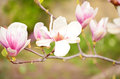 Beautiful macro magnolia flower lit by the sun Royalty Free Stock Photo