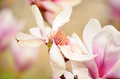 Beautiful macro magnolia flower lit by the sun Stock Photo