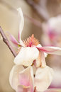 Beautiful macro magnolia flower lit by the sun Stock Image