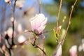 Beautiful macro magnolia flower lit by the sun Stock Photography