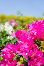 Beautiful magenta flowers Stock Image