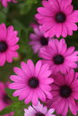 Beautiful magenta flowers with dew drops blooming on them Stock Photo