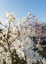 Beautiful magnolia blossoms in spring profiled on sky Royalty Free Stock Photo