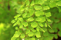 Beautiful maidenhair fern Stock Photos