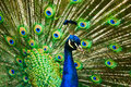 Beautiful male indian peacock Royalty Free Stock Photo