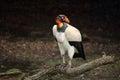Beautiful Male King Vulture Royalty Free Stock Photo