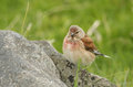 A beautiful male Linnet, Carduelis cannabina, perched on a rock. Royalty Free Stock Photo