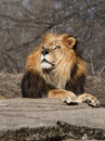 Beautiful male lion looking majestic as he poses for a portrait Royalty Free Stock Images