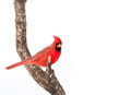Beautiful male Northern Cardinal Royalty Free Stock Photo