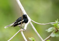 Beautiful male Oriental Magpie-Robin in Jhirna Forest Royalty Free Stock Photo