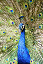 Beautiful male peacock Royalty Free Stock Photo
