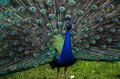 A beautiful male peacock showing its wheel Royalty Free Stock Photo