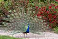 Beautiful male peacock showing it's feathers. Stock Image