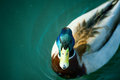Beautiful mallard drake with its distinctive markings swimming o the on calm blue waters Royalty Free Stock Photography