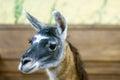 Beautiful mammal herbivore lama in the aviary Royalty Free Stock Photo