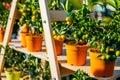 Tangerine pots at flower market