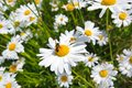 Beautiful marguerite flowers Royalty Free Stock Image