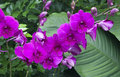 Beautiful mauve tropical orchids orchid flowers Stock Images