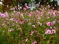 Beautiful meadow full of flowers Royalty Free Stock Photo