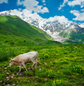 Beautiful meadow landscape near ushguli svaneti georgia shkhara mountain in the background cow on foreground Royalty Free Stock Photography