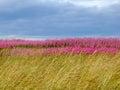 Beautiful meadow of pink wildflowers scotland Royalty Free Stock Image