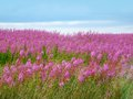Beautiful meadow of pink wildflowers scotland Royalty Free Stock Photo