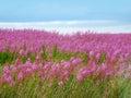 Beautiful meadow of pink wildflowers scotland Royalty Free Stock Photo