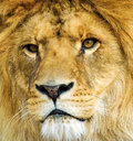 Beautiful Mighty Lion Royalty Free Stock Photo