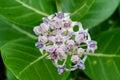 Beautiful milkweed gigantic swallowwort flowers of swallow wort tree calotropis gigantea or kapal kapal Stock Photo