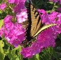 Monarch butterfly landing on purple flowers Royalty Free Stock Photo