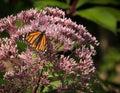Krásny motýľ na burinu