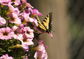 Beautiful monarch butterfly on pink flowers Royalty Free Stock Photo